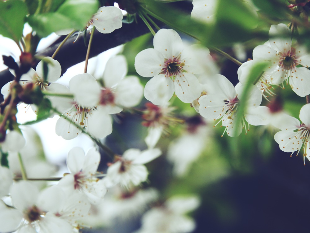 Kirsikkapuun varjossa